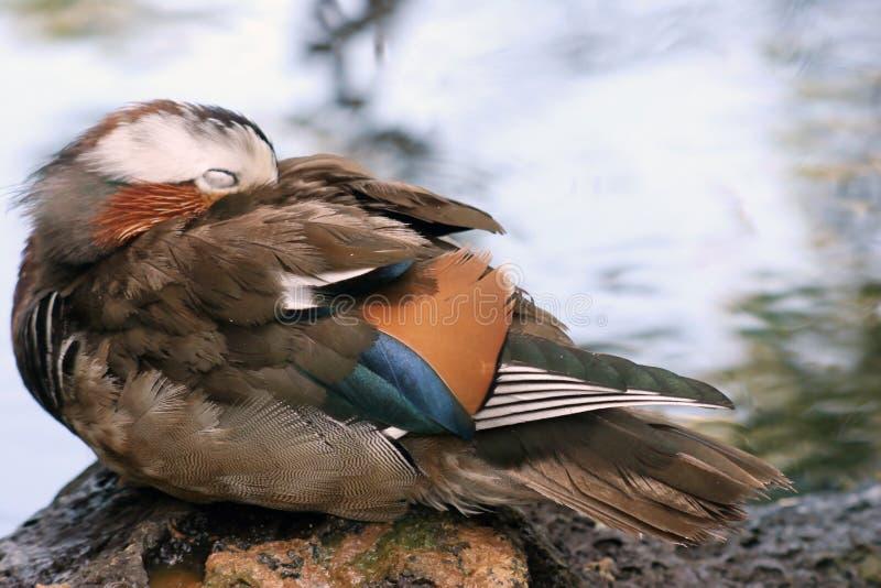 鸭子休眠 免版税图库摄影