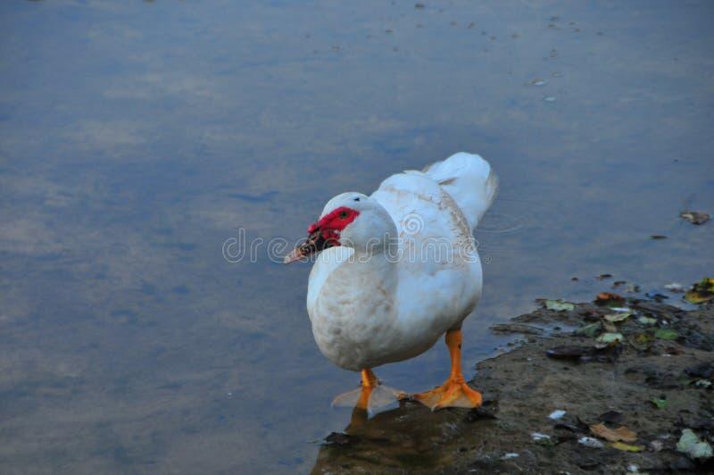 鸭子俄国白色 图库摄影
