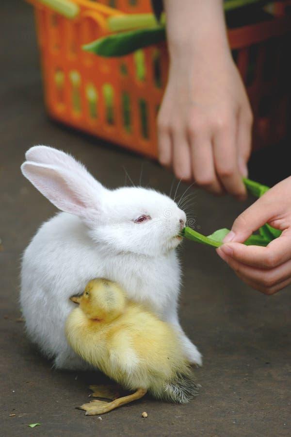鸭子兔子 库存照片