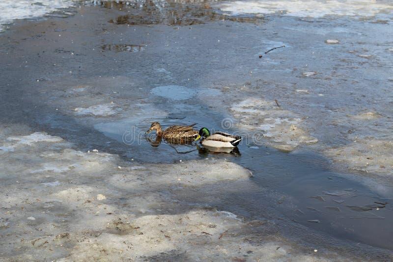 鸭子和德雷克在在一个池塘的透明冰附近被解冻的游泳在早期的春天 库存照片