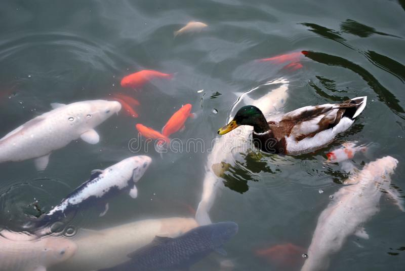 鸭子和鱼照片在湖 免版税库存照片