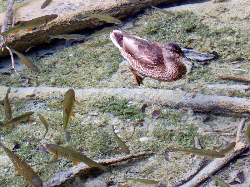 鸭子和鱼 库存照片