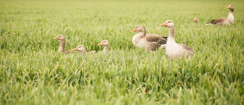 鸭子和鸭子 库存图片