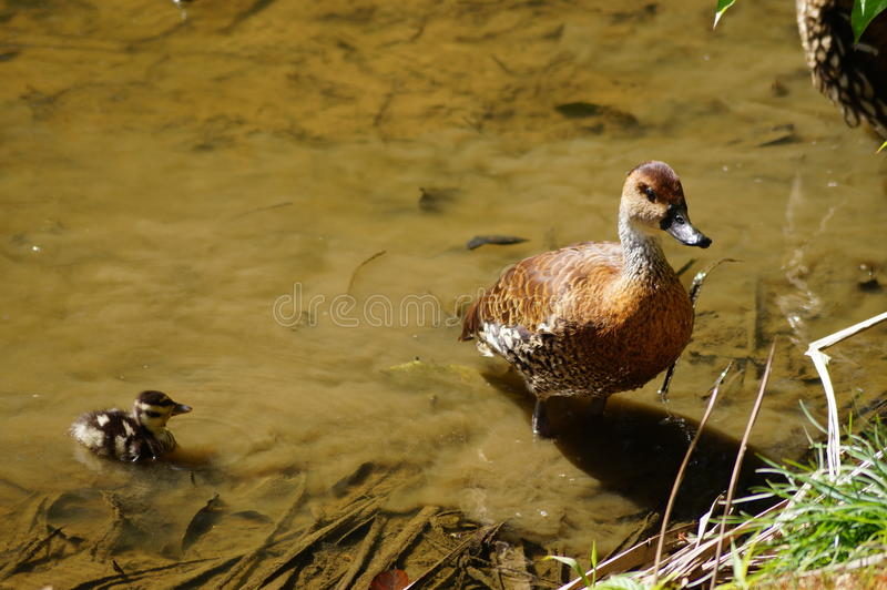 鸭子和鸭子 库存照片