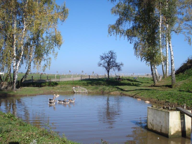 鸭子和鹅在池塘 免版税库存图片