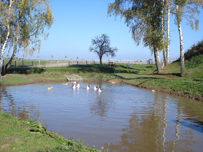 鸭子和鹅在池塘 库存图片