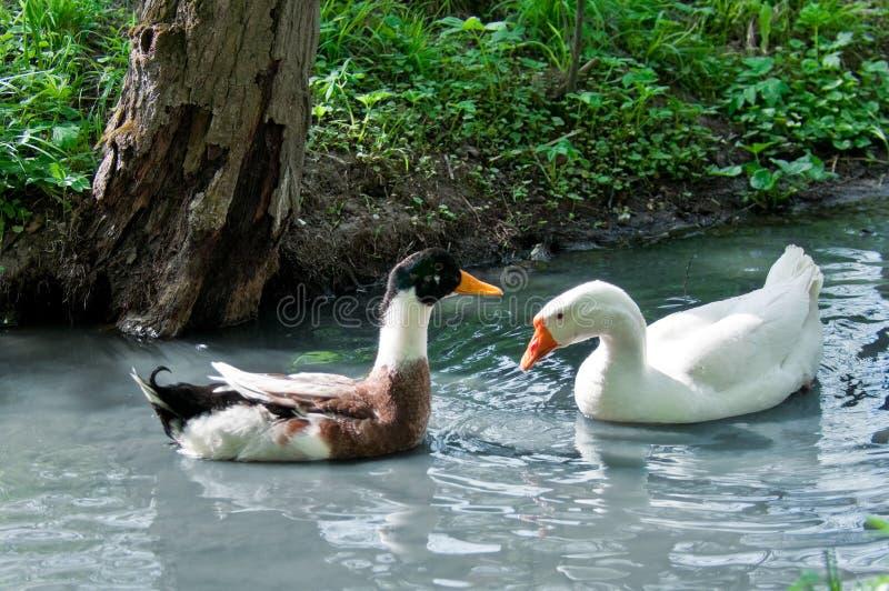 鸭子和鹅 库存照片