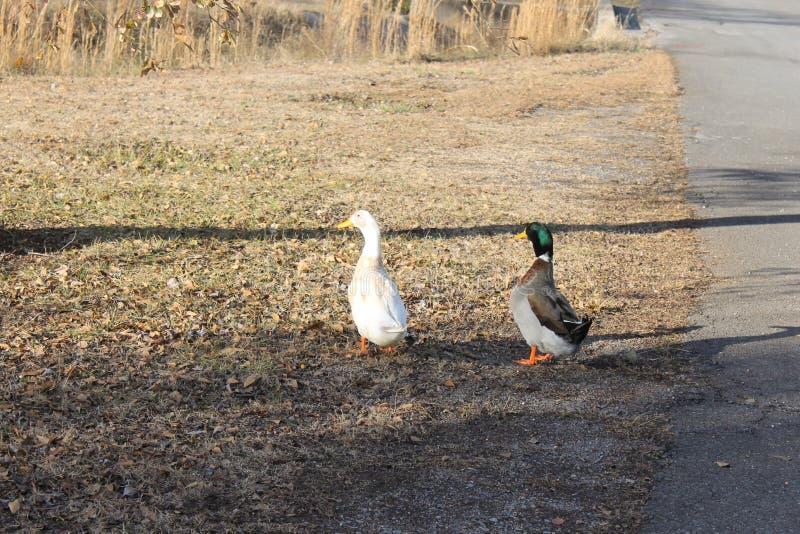 鸭子和nuture野生生物在公园 库存照片