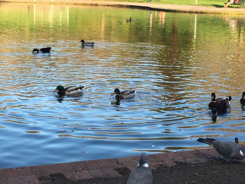 鸭子在公园在布里斯托尔 免版税库存图片