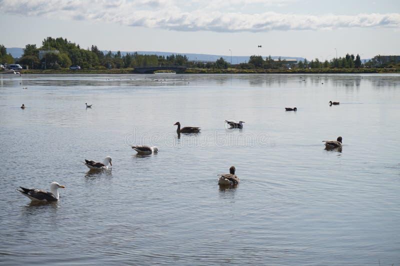 鸭子在冰岛湖 库存图片