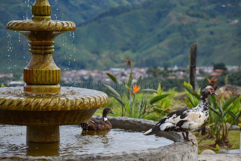 鸭子在喷泉宽乡下 库存图片