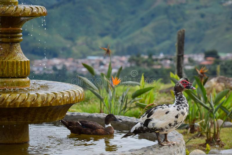 鸭子在喷泉特写镜头庭院里 库存照片