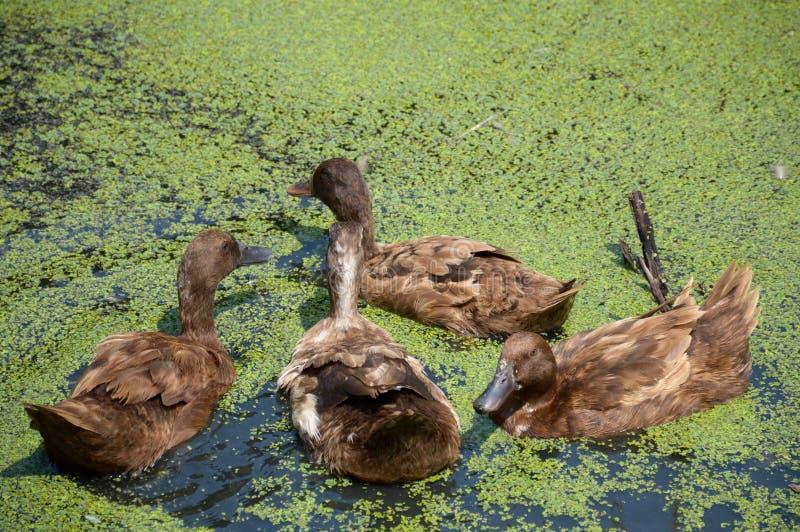 鸭子在国家农场 库存例证