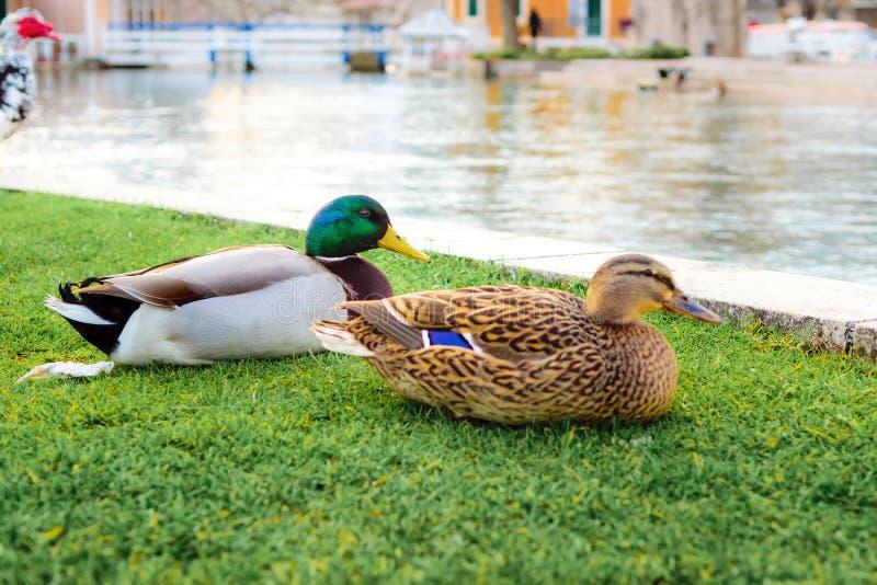 鸭子在城市在Solin,克罗地亚停放,享用由水 免版税库存照片