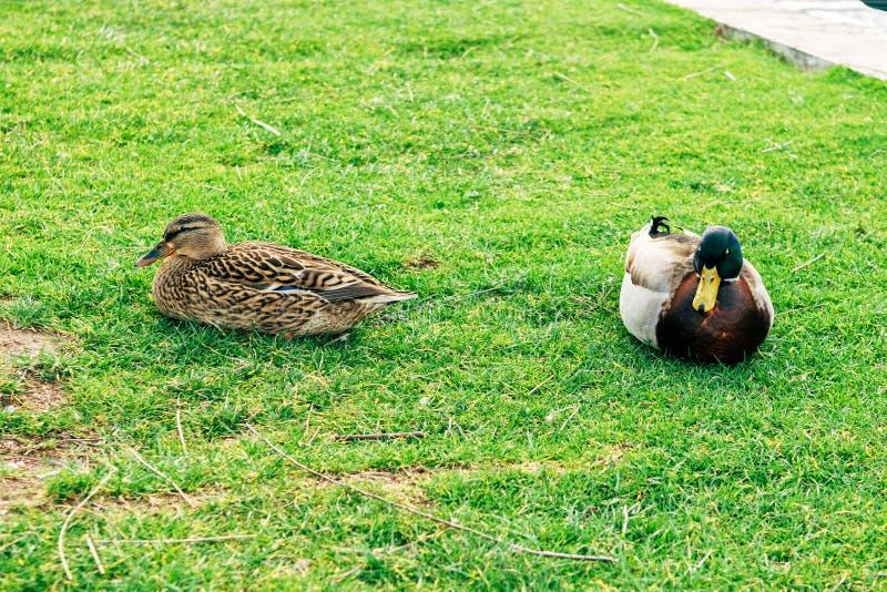 鸭子在城市在Solin,克罗地亚停放,享用由水 库存照片