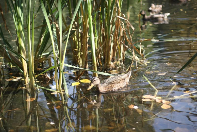 鸭子在池塘和秋天公园 图库摄影