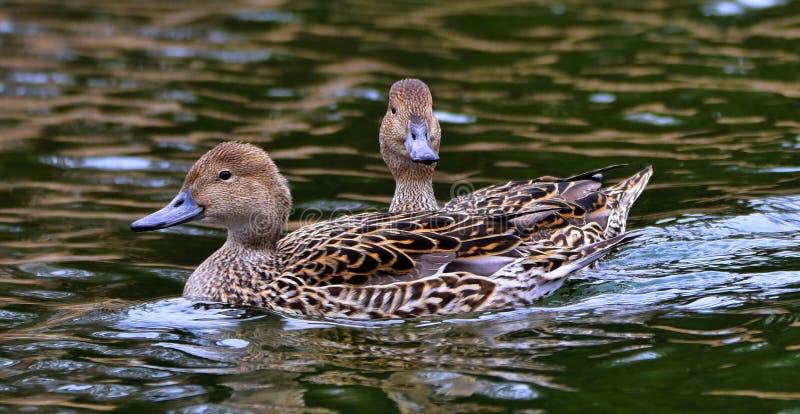 鸭子在池塘在Bowring公园家 免版税库存照片