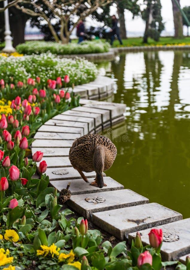 鸭子在池塘的栏杆走在伊斯坦布尔,土耳其 免版税库存图片