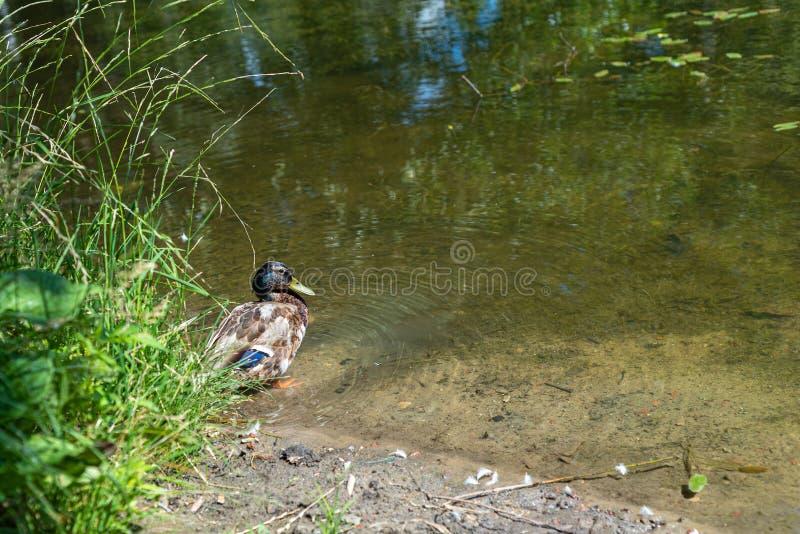 鸭子在池塘边缘的雄鸭游泳 r 免版税库存照片