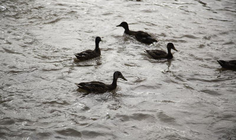 鸭子在河 图库摄影