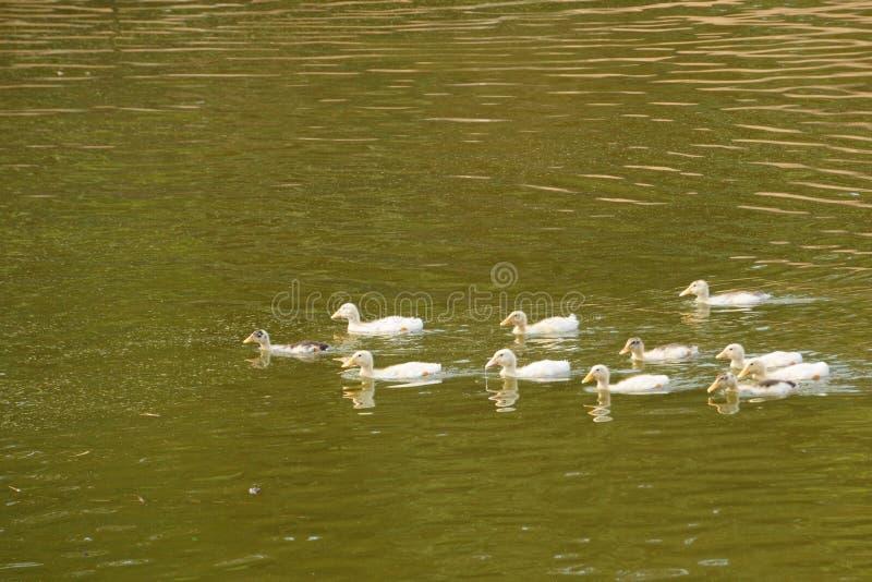 鸭子在湖和下午阳光的同一个方向游泳 免版税库存图片