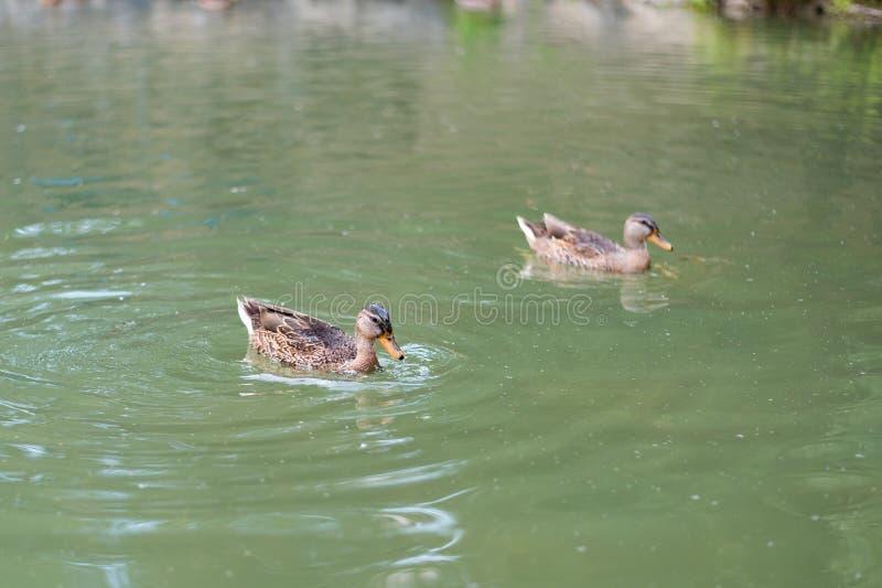 鸭子在湖游泳寻找食物以鱼和昆虫的形式 库存图片