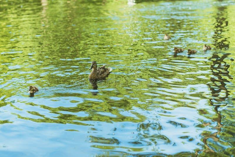 鸭子在湖游泳 母亲鸭子和她小的崽鸭子在公园游泳 免版税图库摄影