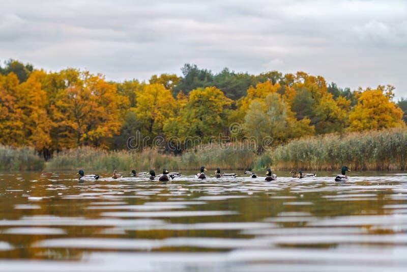 鸭子在湖 免版税库存图片