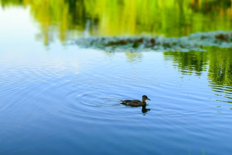 鸭子在百合被弄脏的森林的背景和反射的一个池塘和天空在水中游泳 r 免版税图库摄影