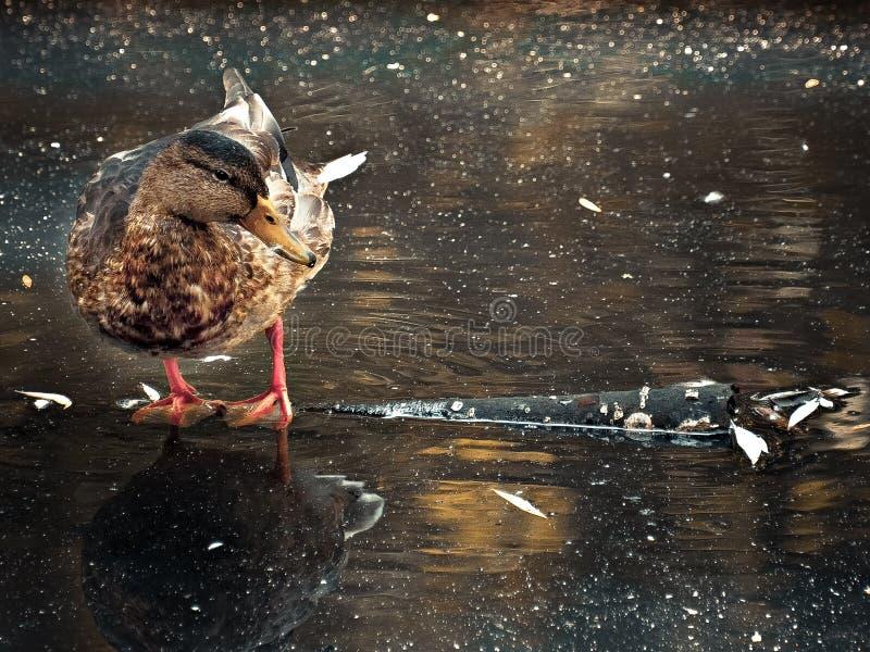 鸭子在秋天池塘 免版税库存照片