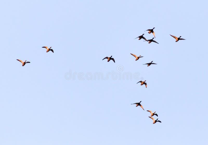 鸭子在飞行中反对蓝天 免版税库存图片