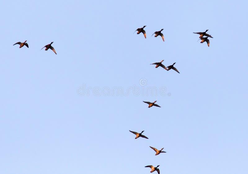 鸭子在飞行中反对蓝天 库存照片