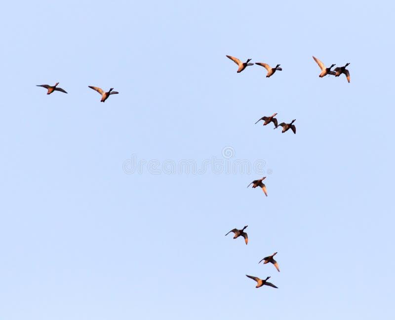 鸭子在飞行中反对蓝天 库存图片