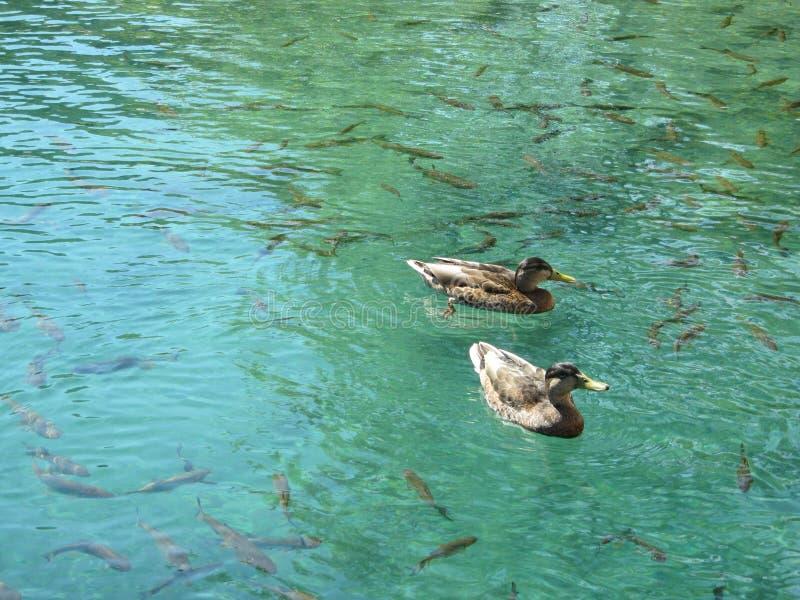 鸭子在鱼旁边游泳在一个美丽的清楚的蓝色湖 库存图片