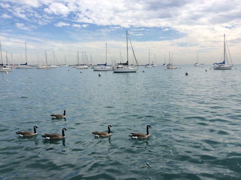 鸭子在水中 免版税库存照片