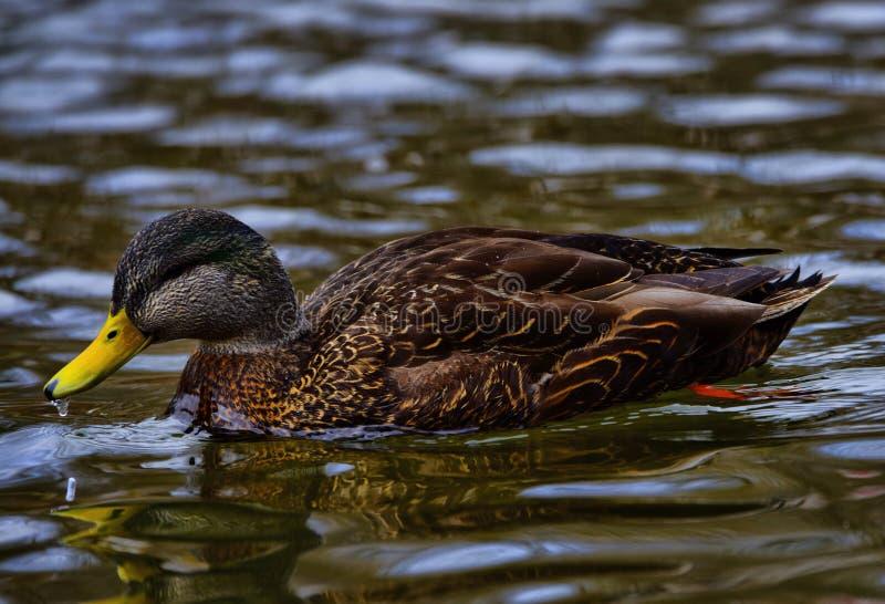 鸭子在Bowring公园鸭子池塘 免版税库存图片