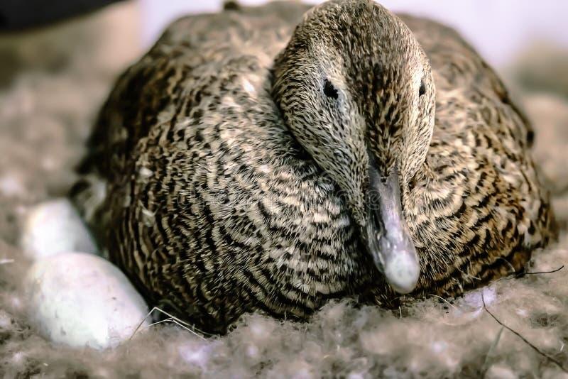 鸭子坐在巢的鸡蛋 库存照片