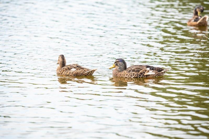 鸭子家庭在一个小池塘游泳 免版税库存图片