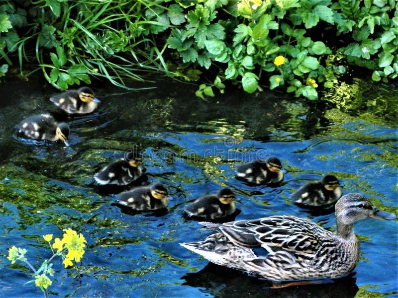 鸭子家庭在南都柏林郡小河的 免版税库存图片