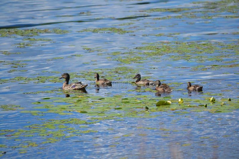 鸭子家庭在湖 免版税库存照片