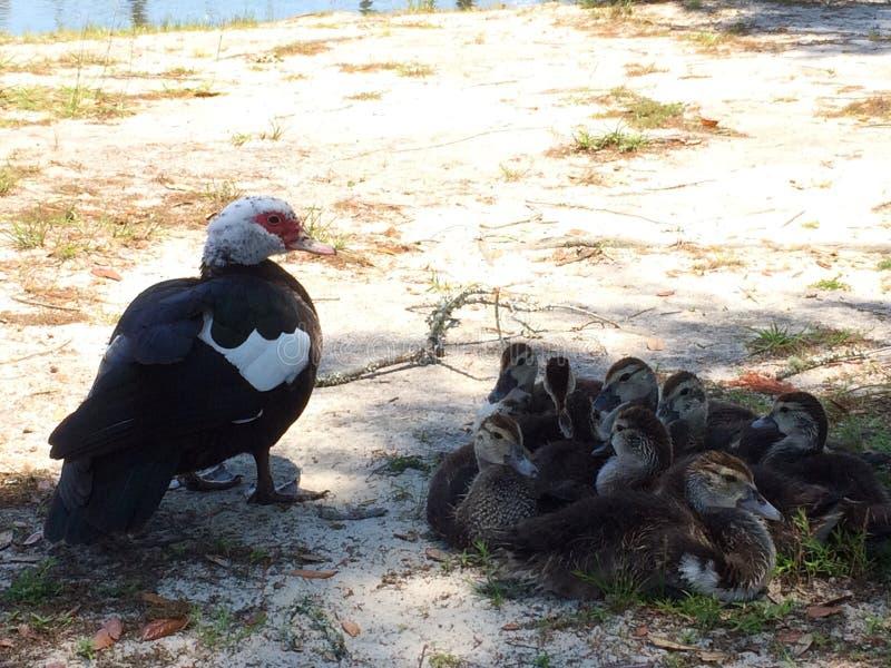 鸭子家庭 免版税图库摄影