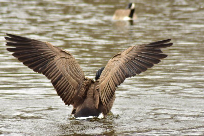 鸭子拍动it& x27; 在飞行中采取的s翼 库存图片