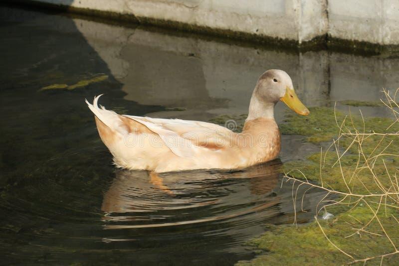 鸭子放松 免版税库存照片