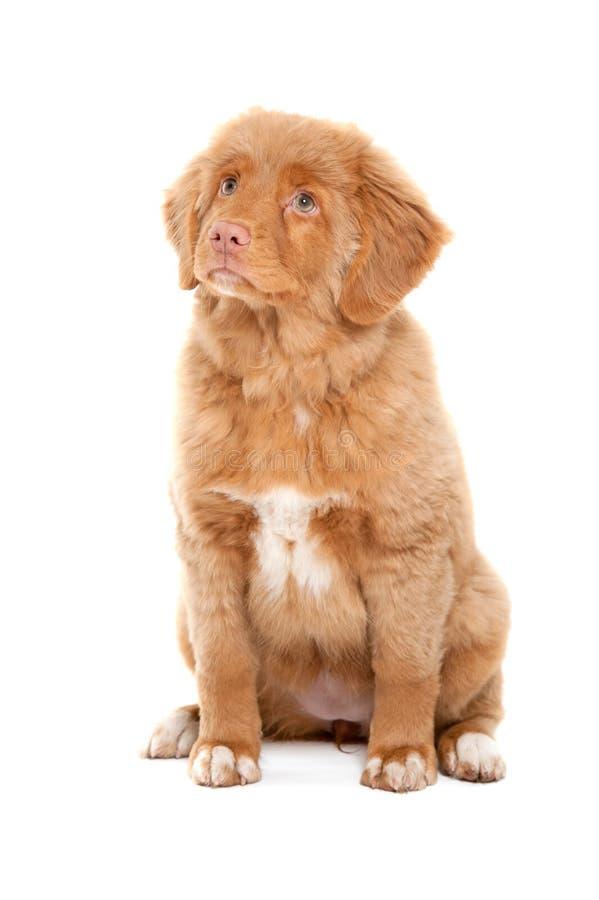 鸭子新星猎犬scotia敲 免版税图库摄影