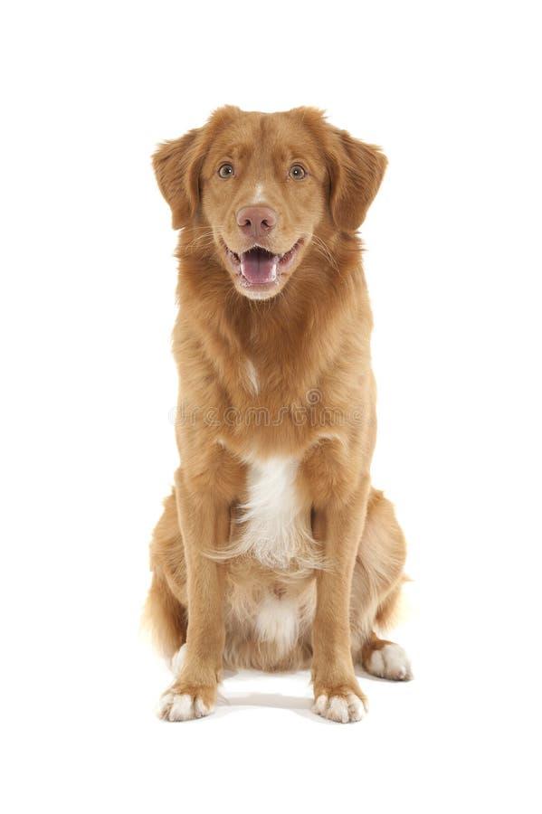 鸭子新星猎犬scotia敲 免版税库存照片