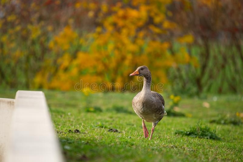 鸭子是这些图片主要动机  免版税库存照片