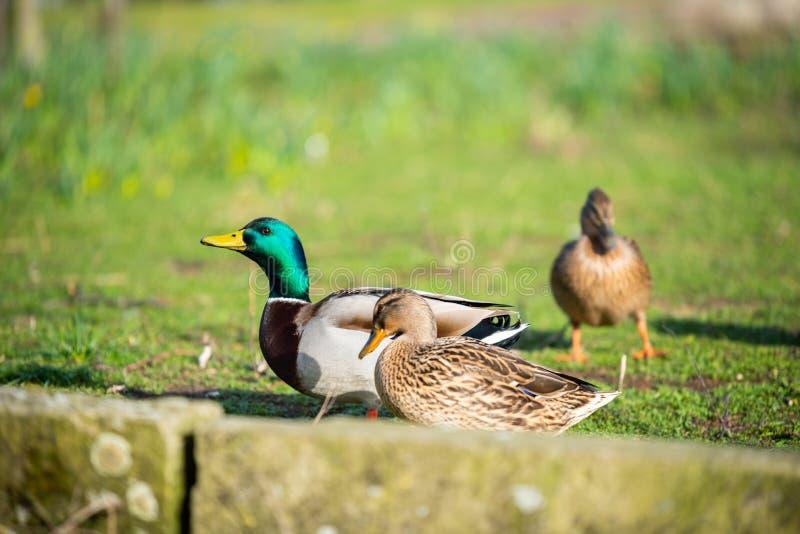 鸭子是这些图片主要动机  免版税库存图片