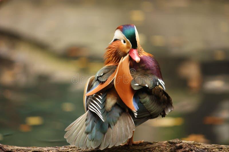 鸭子普通话 图库摄影