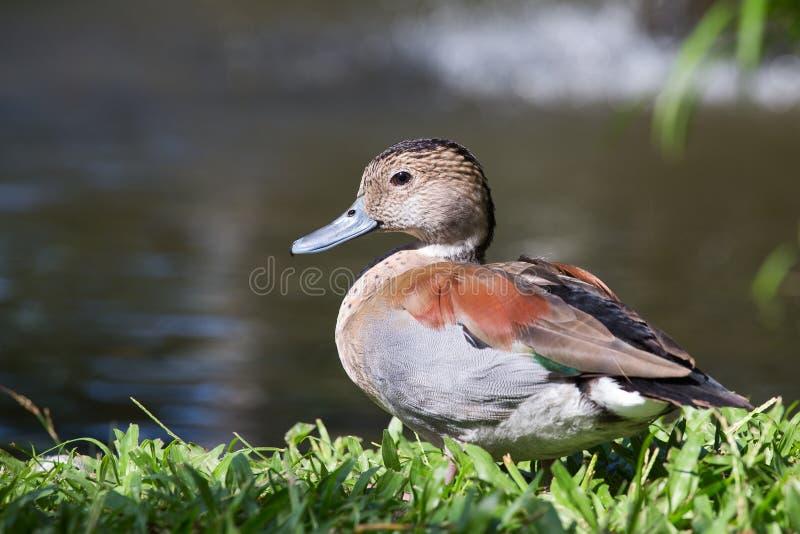鸭子本质上 巴厘岛飞禽公园,印度尼西亚 库存照片