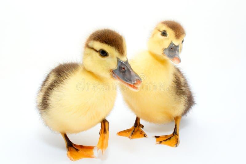 鸭子查出白色 库存照片